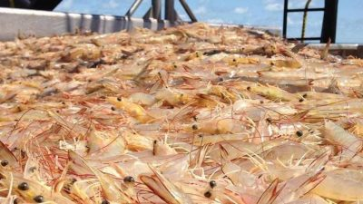 Australia's Northern Prawn Fishery industry leads innovation in by-catch reduction