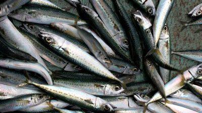 Latest science supports bigger jack mackerel quota