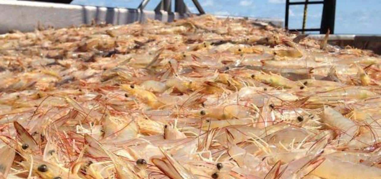 New by-catch reduction option for Australian prawn fishery