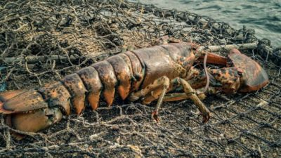 American lobster not on EU list of alien invasive species