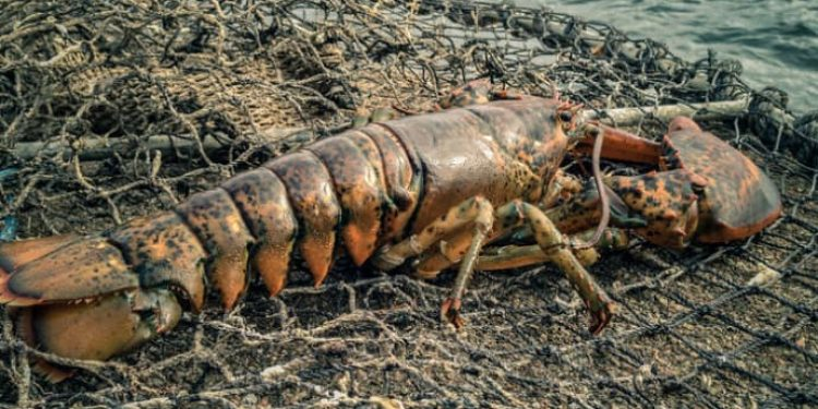 American lobster - @ Fiskerforum