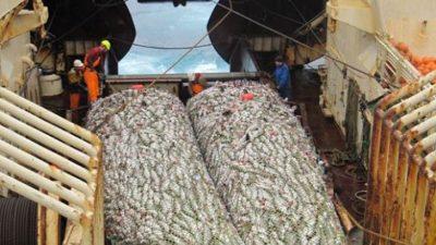 Saithe up, cod and haddock down