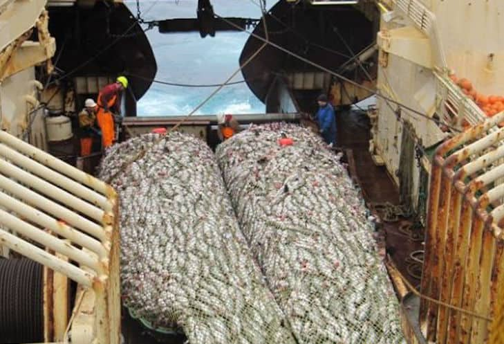 Read more about the article Saithe up, cod and haddock down