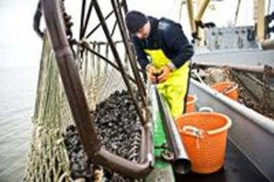Blue mussel fishers of Lower Saxony achieve MSC certification for sustainable fishing.  Photo: Blue mussel fishers of Lower Saxony  -  MSC - @ Fiskerforum