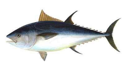 Management measures rebuild tuna stocks