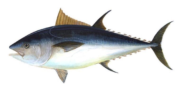 Bluefin tuna - @ Fiskerforum