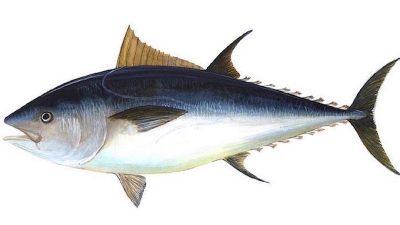Bluefin tuna widespread around British Isles