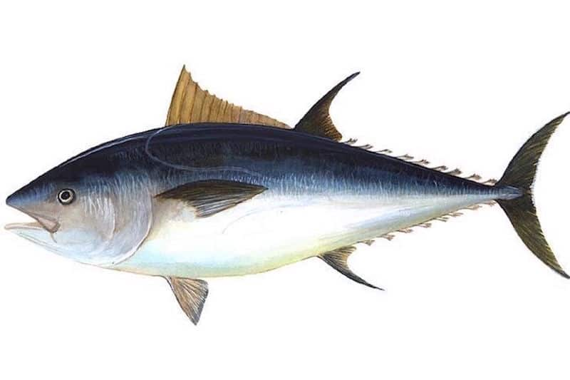 Bluefin tuna widespread around British Isles