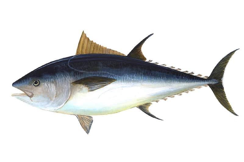 Smooth bluefin season