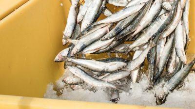 Sweden extends quota system for Baltic pelagics