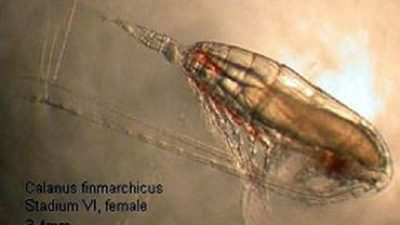 Opportunities for copepod fishery