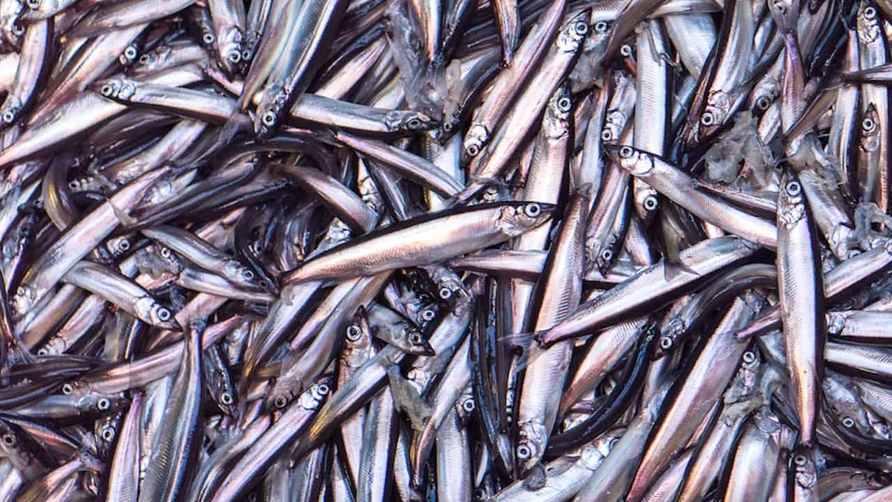 Capelin search underway