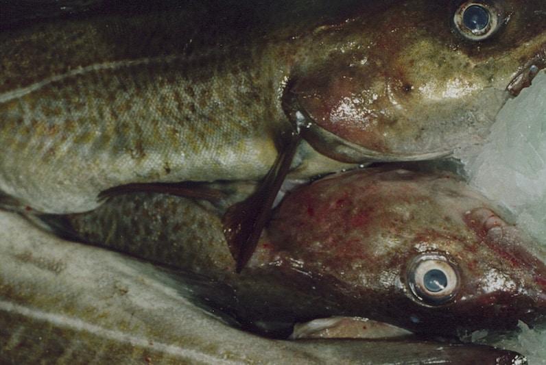 Danish North Sea cod receives MSC certification