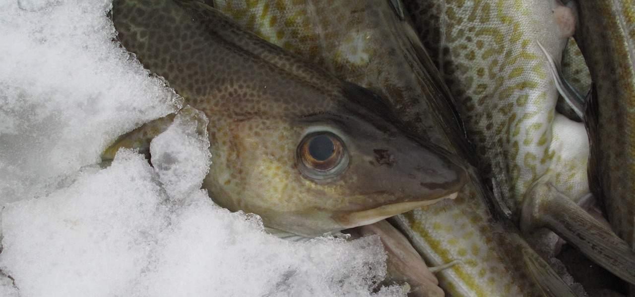 NAFO cuts cod quota – welcomes new member