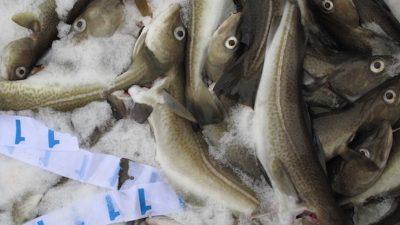 North Sea cod gets MSC label