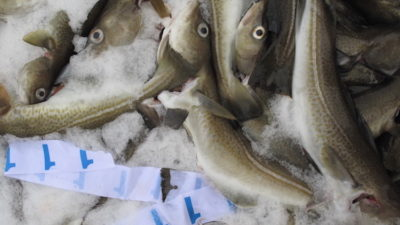Recommended Barents Sea cod quota down by a fifth