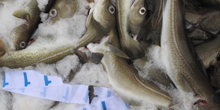 ICES recommends a 20% cut in next year's Barents Sea cod quota - @ Fiskerforum