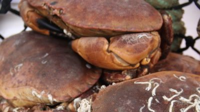 Joint venture crab production in Denmark