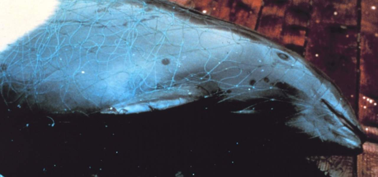 Read more about the article Driftnets blamed for widespread dolphin mortality