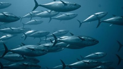 Europêche regrets ICCAT bluefin recommendations