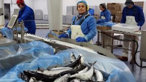 Iceland's mackerel season takes off