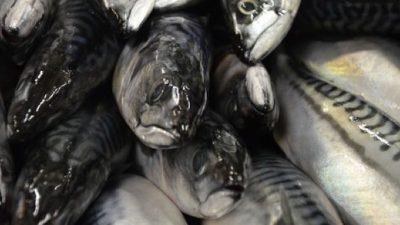 Mackerel mayhem