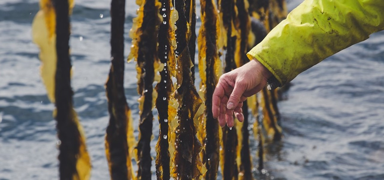 WWF leads funding for Faroese seaweed