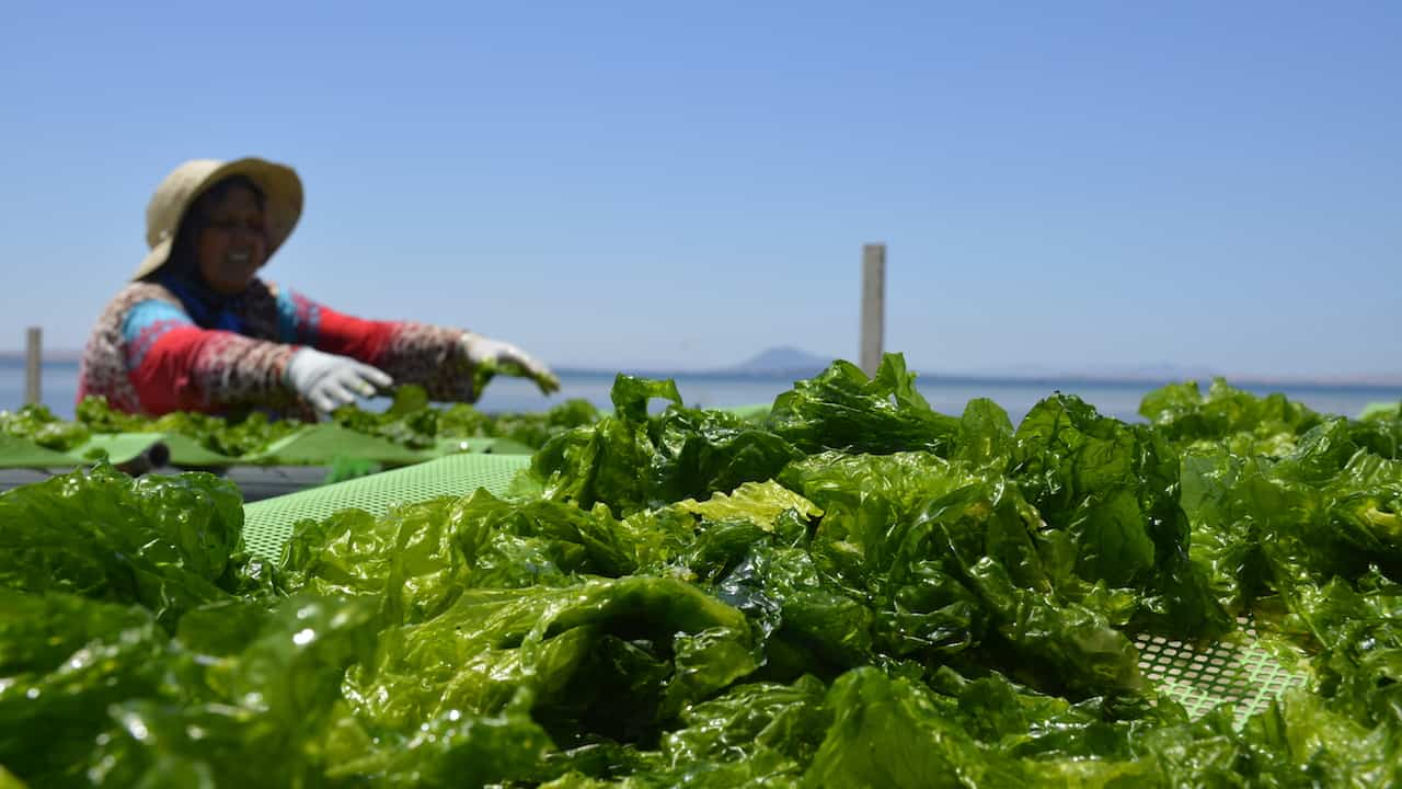 Read more about the article Seaweed – the untapped resource