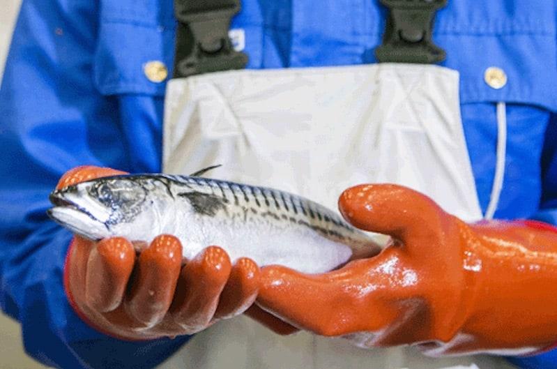 Huge mackerel volumes in Icelandic waters