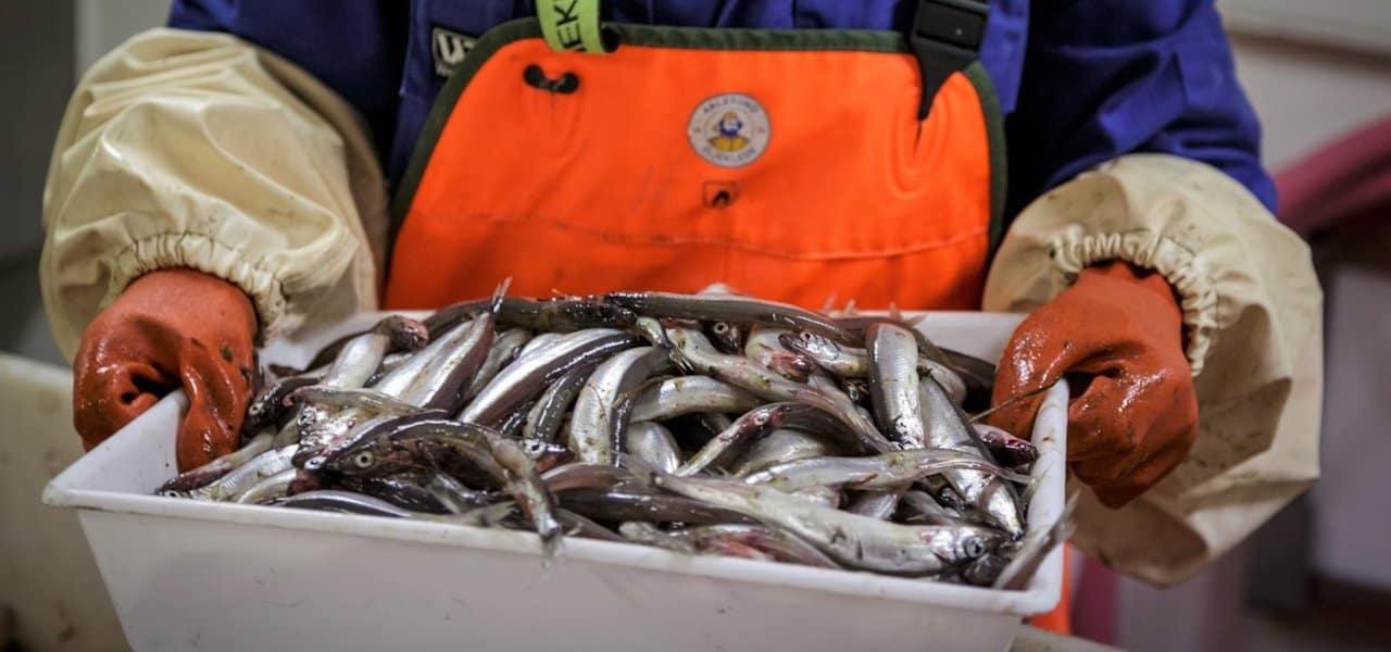 Zero quota for Barents Sea capelin