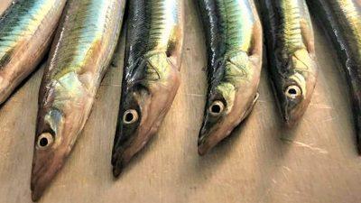 Researchers recommend doubled Norwegian sandeel quota