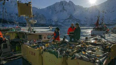 Will Lofoten cod become Murmansk cod?