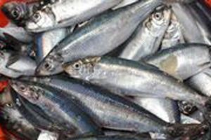 Commitment to sustainable seafood doubles in Northern Ireland.  Photo: MSC - @ Fiskerforum