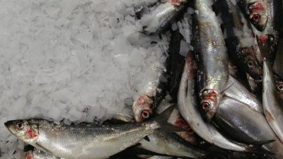 Iceland sets herring and blue whiting quotas