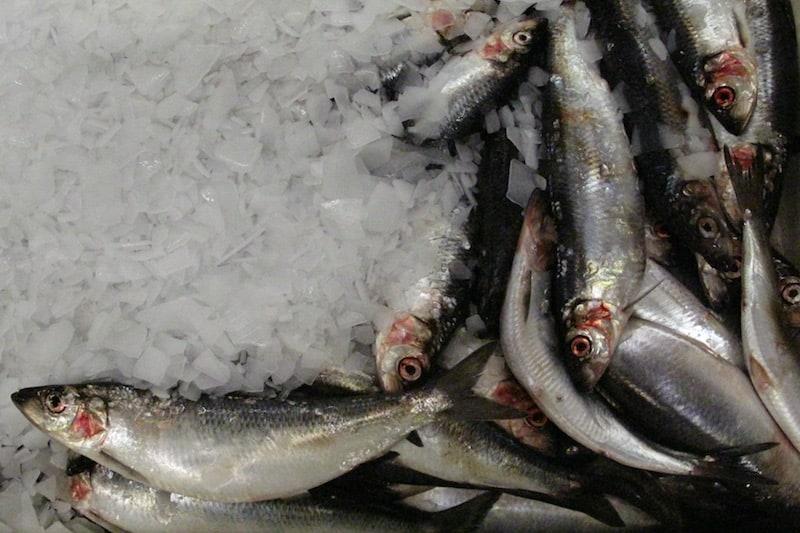 Heavy fishing as herring heads offshore