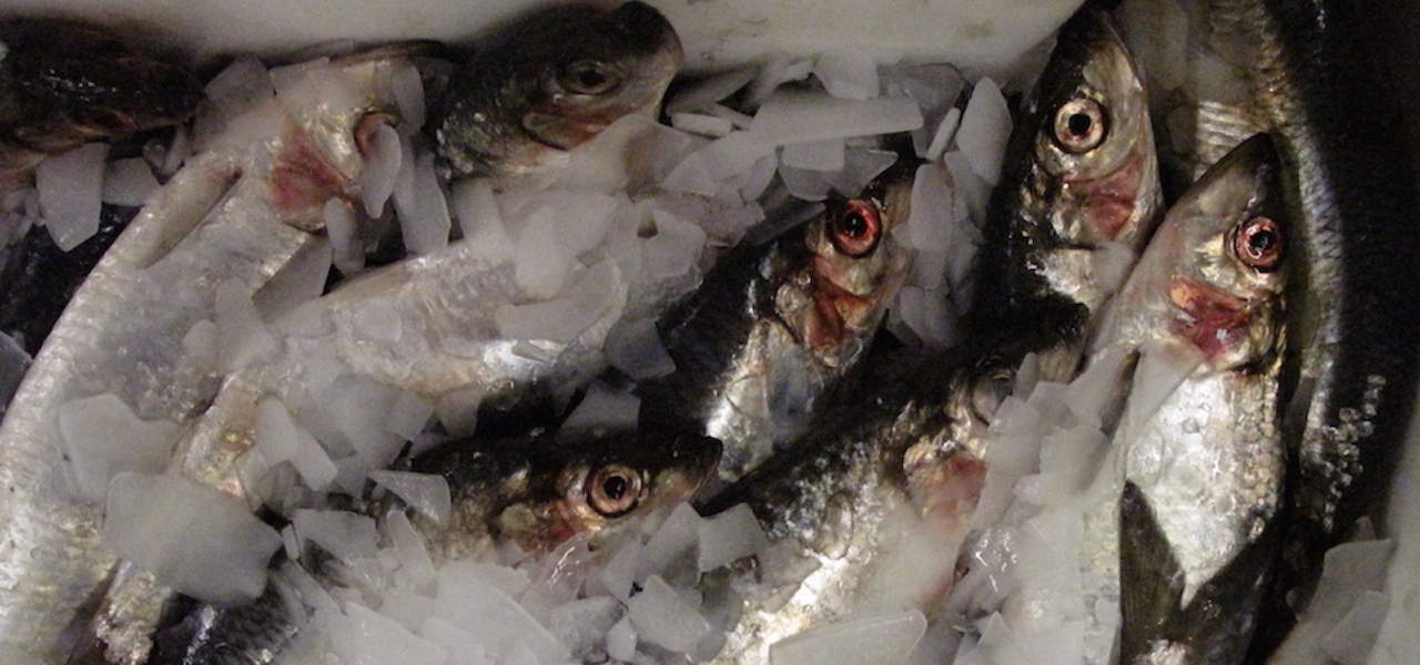 Blue whiting and Atlanto-Scandian herring TACs agreed