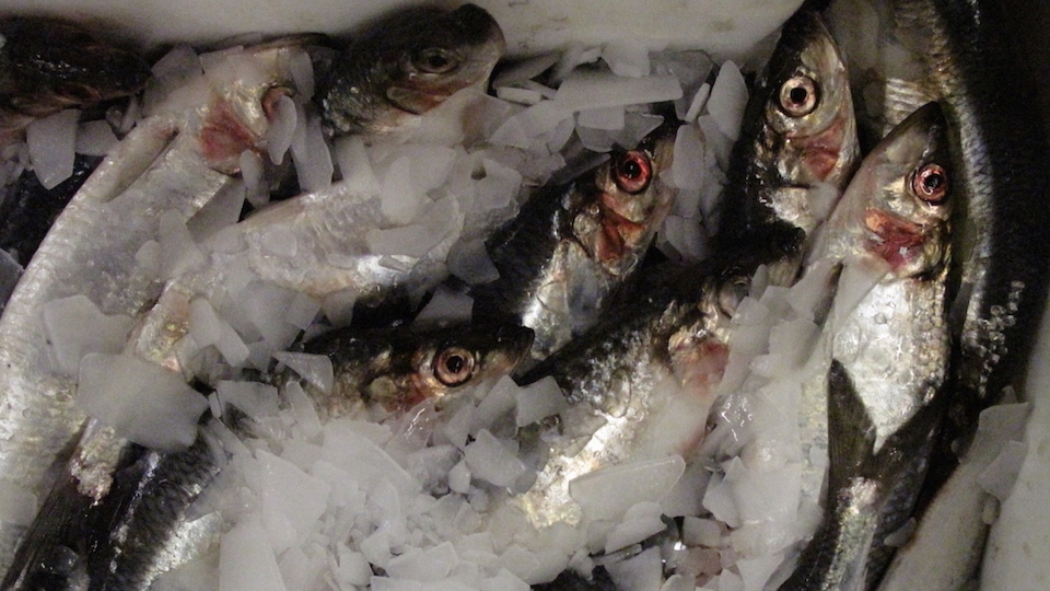 ICES proposes 2020 North Sea herring increase
