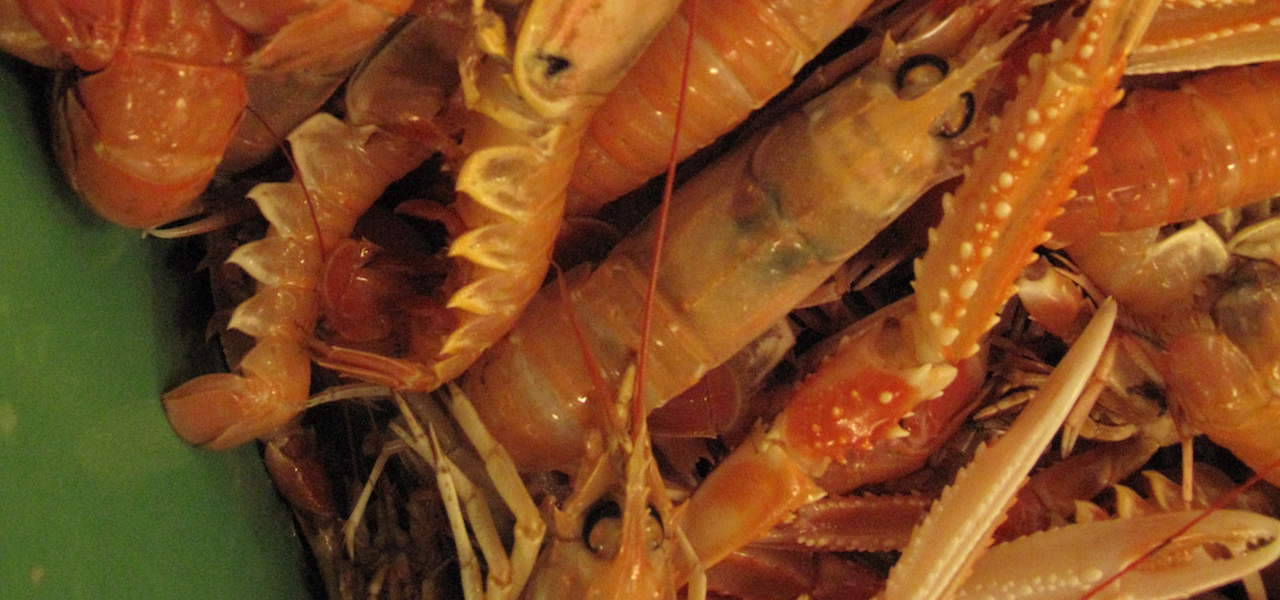 ​UK POs look forward to nephrops fishery and market recovery