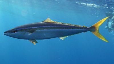 Some tuna stocks fail to meet minimum standards