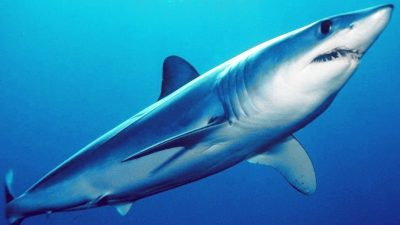 European industry warns against CITES listing of shortfin mako shark