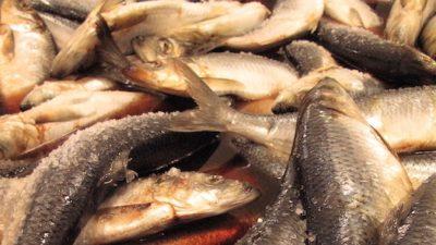 MSC certification for Atlanto-Scandian herring renewed