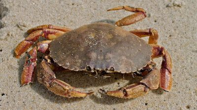 Iceland's expanding crab population