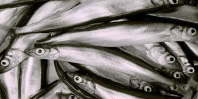 Pelagisk Forening has posed a series of questions about management of the capelin fishery. Image: Pelagisk Forenin - @ Fiskerforum