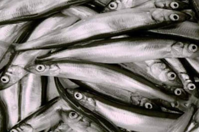 Pelagic Association's capelin questions