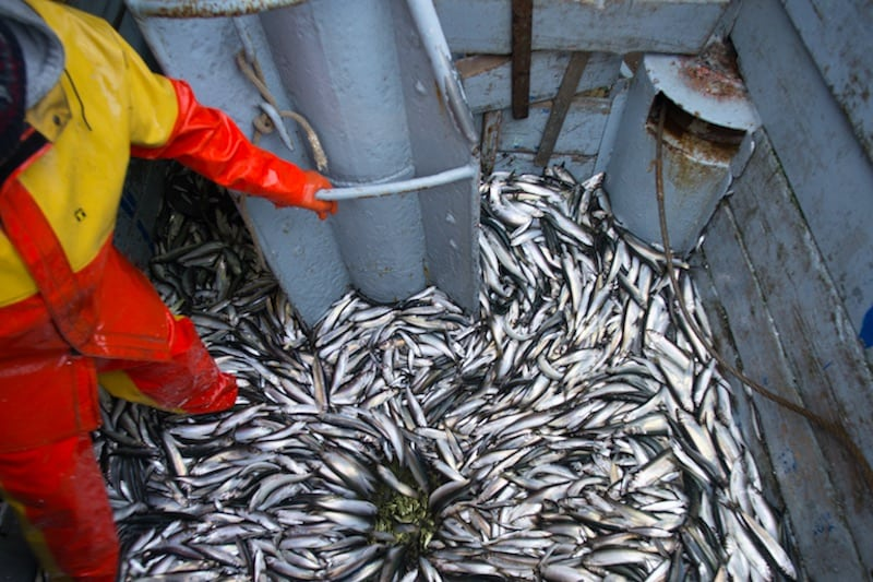 Baltic fishermen seek MSC certification for herring and sprat