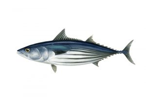 The Talley's New Zealand skipjack tuna purse seine fishery is the eighth New Zealand fishery to be MSC certified - @ Fiskerforum
