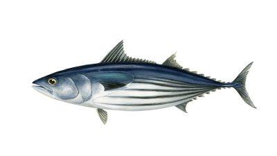 NZ skipjack tuna purse seine fishery gets MSC label