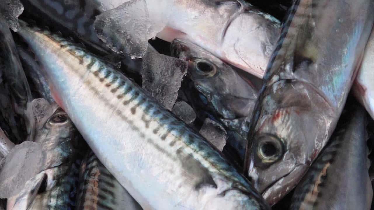 Minister announces Canada's 2021 Atlantic mackerel quota