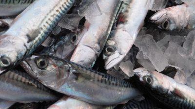 Healthy mackerel stock
