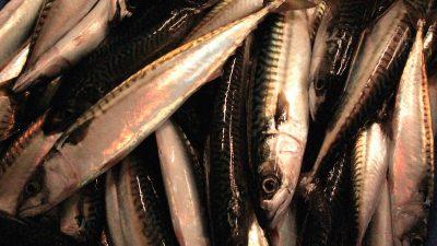 'Absurd' mackerel cut